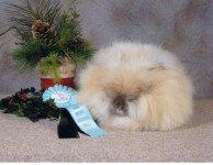 Ангорский карликовый кролик