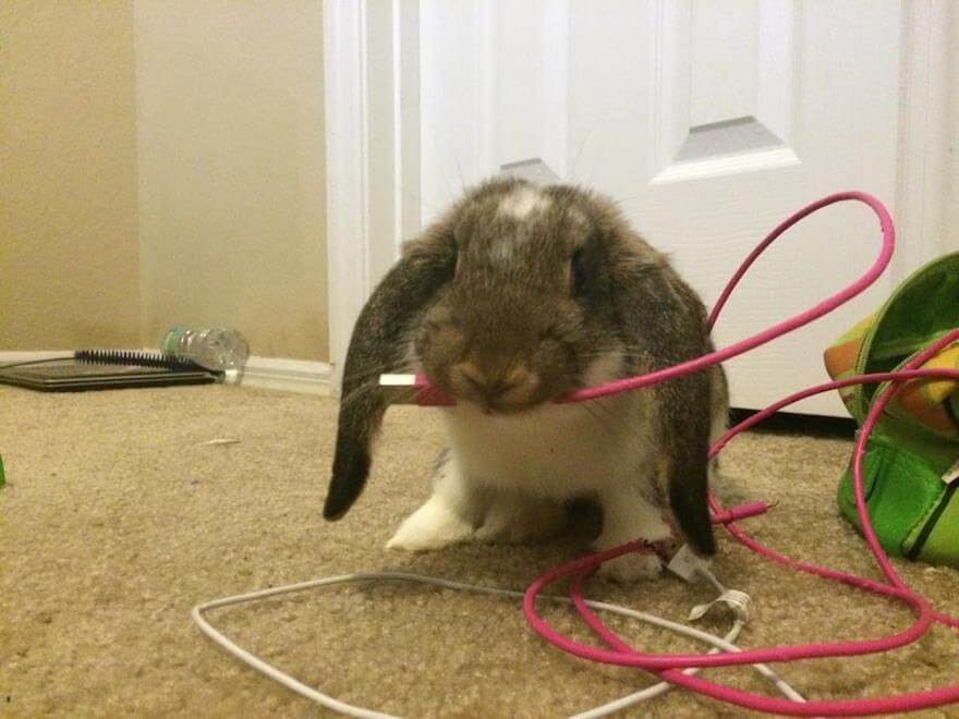 Как отучить кролика грызть провода