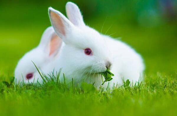 Можно ли давать декоративным кроликам клевер