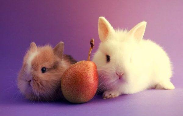 Можно ли давать декоративным кроликам груши