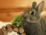 Можно ли давать декоративным кроликам брокколи