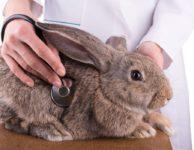 Стафилококкоз у кроликов симптомы лечение