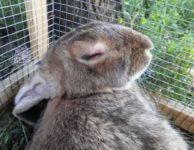 Некробактериоз у кроликов симптомы лечение