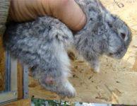 Стрептококкоз у кроликов симптомы лечение