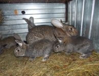 Инфекционная тимпания у крольчат