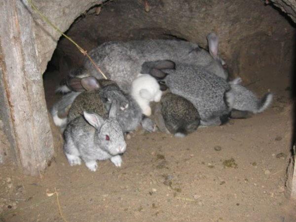 Важные советы по содержанию кроликов в яме