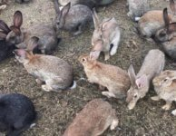 Содержание и разведение кроликов в ямах