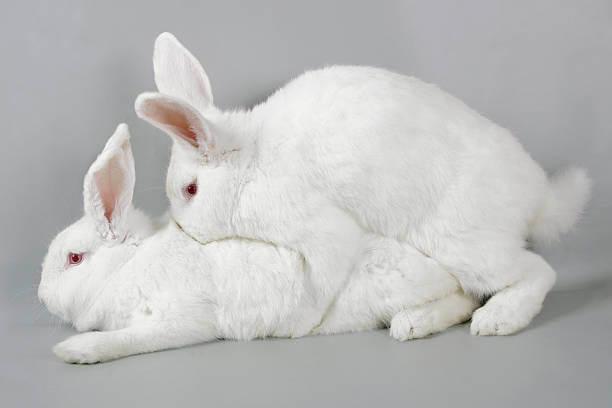 Крольчиха не покрывается причины и что делать