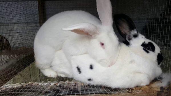 крольчиха не хочет подпускать самца