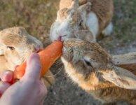 Откорм взрослых кроликов