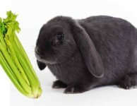 Можно ли декоративным кроликам сельдерей