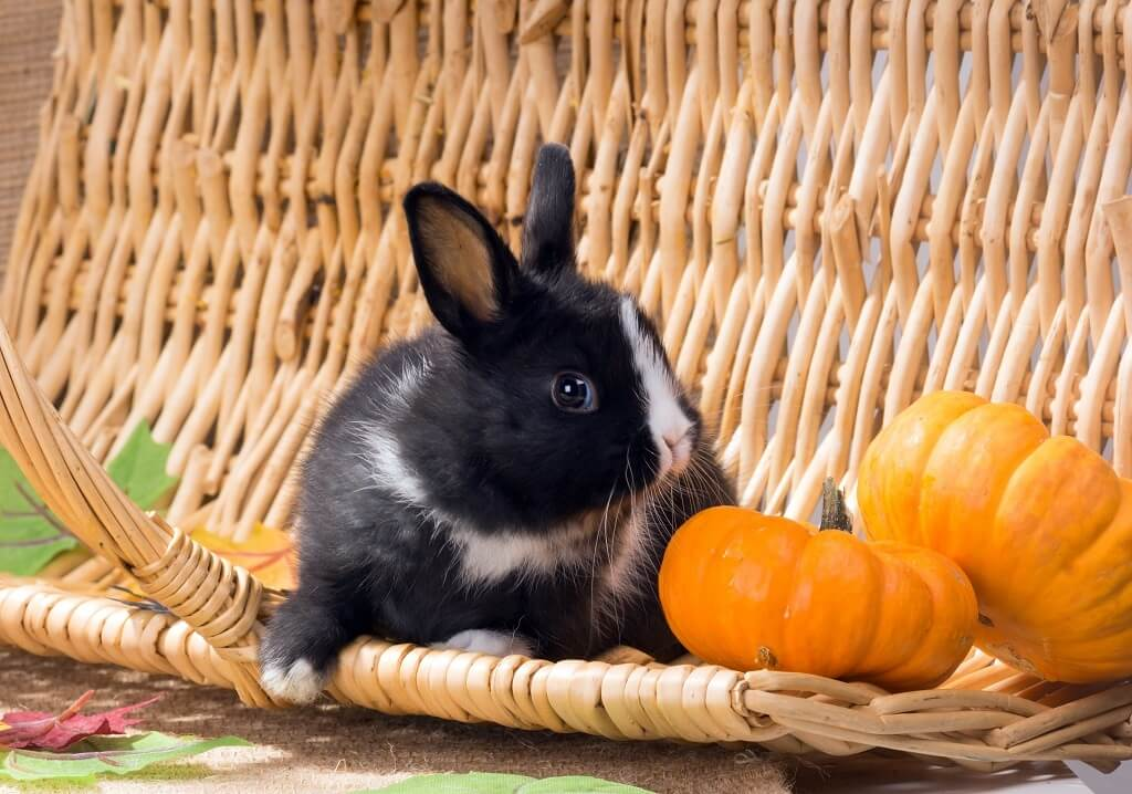 Можно ли давать декоративному кролику тыкву