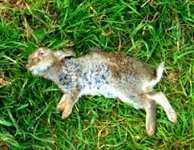 Дифтероидный энтерит у кроликов