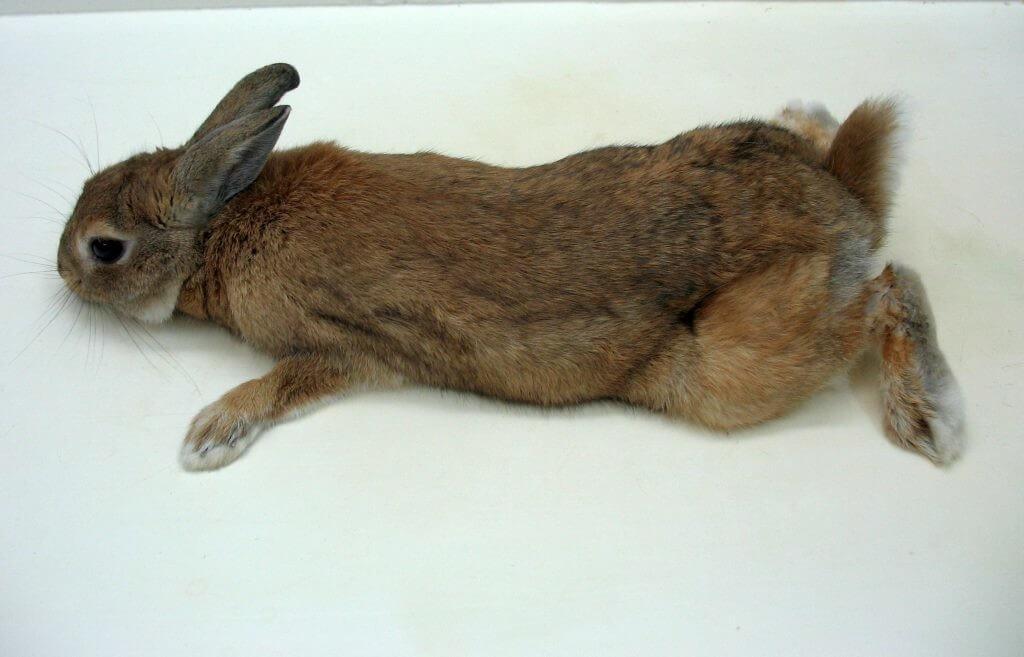 Псевдомоноз у кроликов