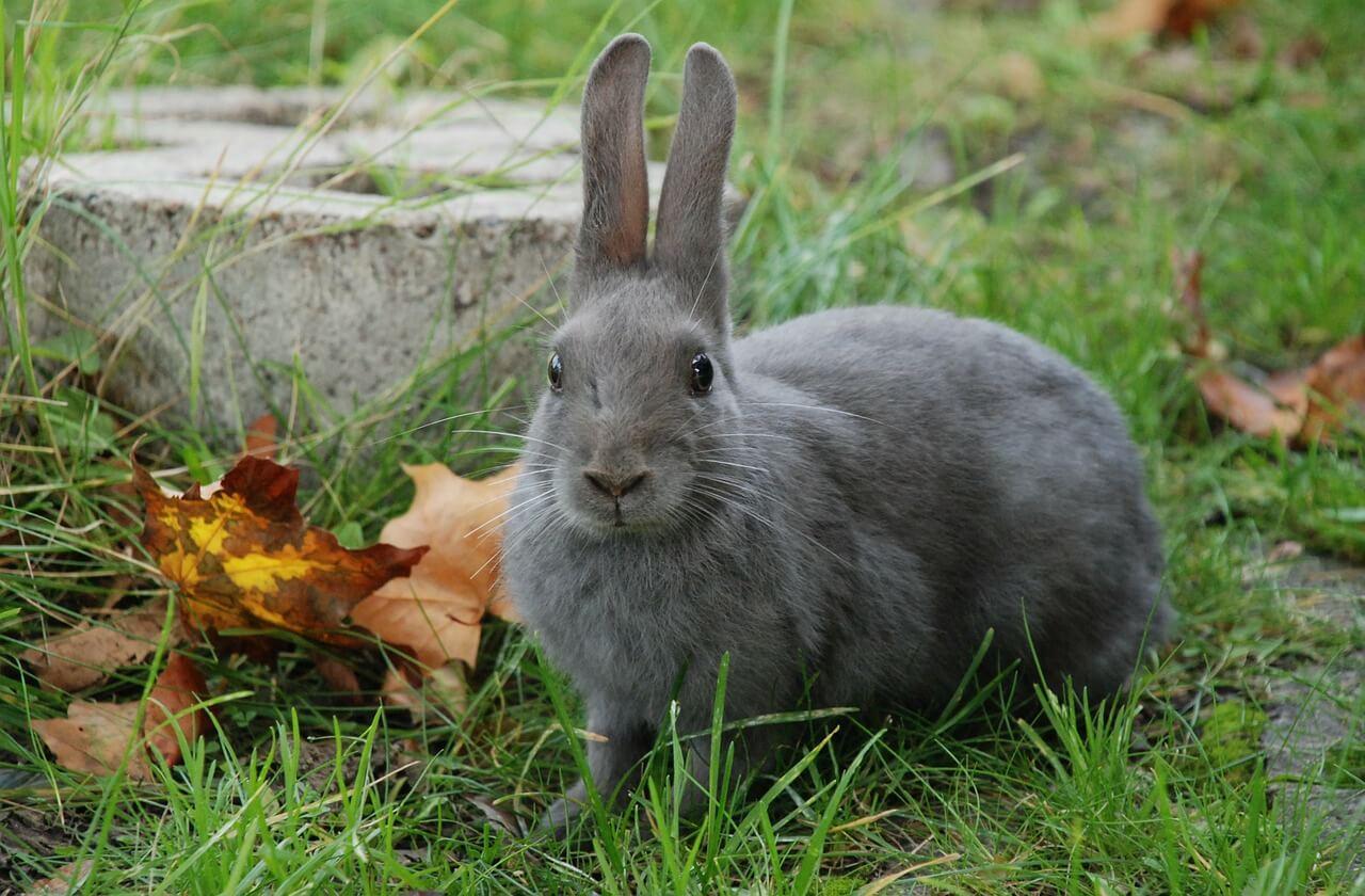 Мелиоидоз у кроликов