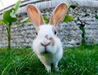 Аноплоцефалидоз кроликов