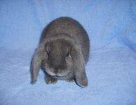 Карликовый кролик, порода карликовый барашка, мальчик 3 мес.-БЕСПЛАТНО В ХОРОШИЕ РУКИ!
