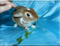 Карликовый кролик, порода карликовый рекс, мальчик 1 год.-БЕСПЛАТНО В ХОРОШИЕ РУКИ!