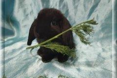 10. Мальчик  (Карликовый барашка) 02.07.20г.р-6000руб    Окрас: черный.  Очень красивый.