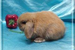 13.Мальчик (Мини лоп) 01.07.20.р-10.000руб Окрас: тюрингенский. Самые милые вислоухие кролики!