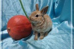 4.Девочка  (карликовый рекс) 01.09.20г.р-6.500руб Окрас: красный. Самые плюшевые кролики