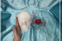 1.Мальчик  (Карликовый гермелин) 01.09.20г.р -6.500руб    Окрас: белый голубоглазый ангелок.
