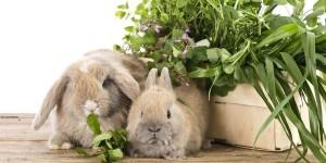 Можно ли кроликам давать шпинат