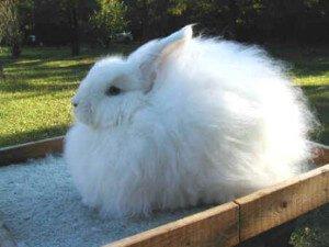 Кролики породы Белая Пуховая