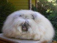 Кролики породы Ангорская Пуховая