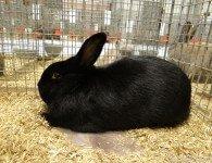 Кролики породы Аляска