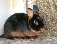 Кролики породы Черно-огненный