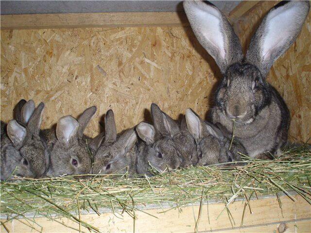 В каком возрасте отсаживают крольчат