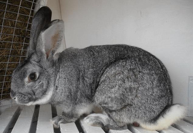 Кролики породы Большая Шиншилла