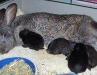 Что влияет на молочность крольчих