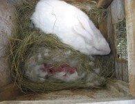 Чем кормить крольчиху после окрола