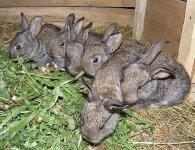 Чем кормить крольчат после отсадки от крольчихи