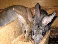 Отравление кроликов кормами с остатками антибиотиков
