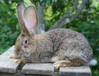 Аспергиллез у кроликов