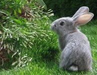 Туберкулез кроликов