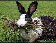 Ложная беременность у крольчихи