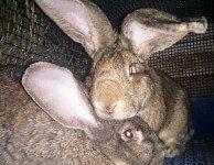 Как выбрать кролика самца для разведения