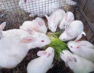 Как влияет кормление кроликов на их плодовитость