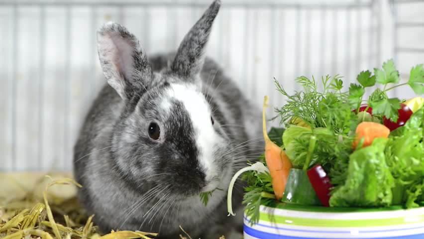 У декоративного кролика красная моча