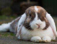 Желудочно - кишечный стаз у кроликов