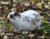 Кокцидиоз - эймериоз у кроликов