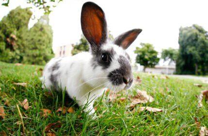 Особенности полового цикла у кроликов