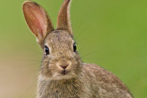 Дикий кролик - внешний вид