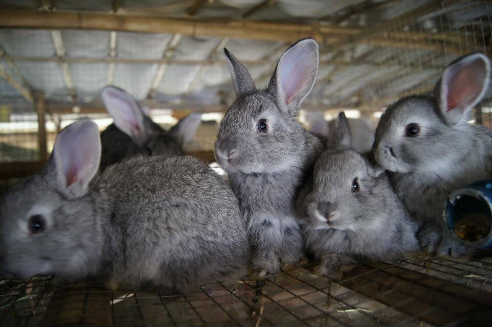 Инфекционный фиброматоз кроликов