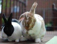 Инфекционный ринит, заразный насморк у кроликов