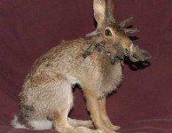 Инфекционный папилломатоз - бородавки кроликов.